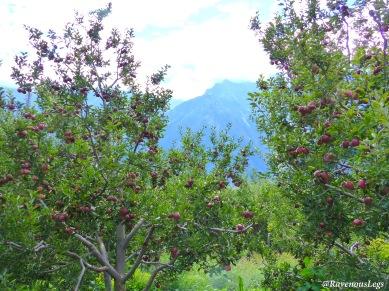 Pic8 - Apple orchards in Kullu valley.JPG